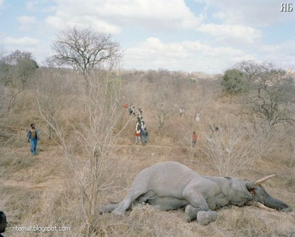 Sedap ke daging gajah?